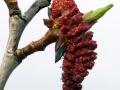 Balsalm Poplar - Male Catkin - DONOTCONFUSE with Aspen Poplar