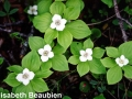 3. Bunchberry mid bloom but note the plant on right has only one bud open