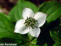 4. Bunchberry past bloom and green fruits forming