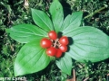 5. Bunchberry ripe fruit
