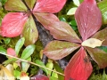 6. Bunchberry fruit gone and leaves red (autumn)