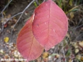 6. Choke cherry fall leaf colour