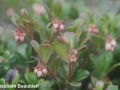 1BearberryClosedFlowersBeforeBloom