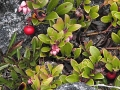 2BearberryFruitFromPreviousYearAndFirstFlowersOpen