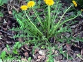 2. Dandelion plant in bloom