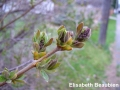 3. Lilac flower buds easily visible, leaves unfurling - leafing stage