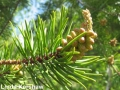 2. similar species Jack Pine (Pinus banksiana) male cones just BEFORE pollen shed