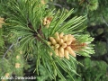3. Lodgepole pine shedding pollen male cones shedding (if you flicked this branch with your finger, you would release a cloud of yellow powdery pollen!)