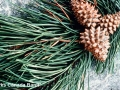 4. Lodgepole pine (Pinus contorta) female seed cones