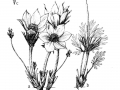 6. Prairie crocus (Anemone patens)sketch by J. Maywood