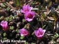 2. Purple Saxifrage Saxiopp