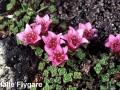 3. Purple Saxifrage Saxiopp