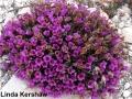 4. Purple Saxifrage Saxiopp