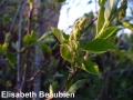 3. Saskatoon flower buds strongly swollen