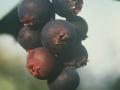 7. Saskatoon ripe berries