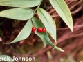 5.Star-flowered Solomon's Seal Smilste ripe fruit