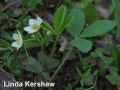 1. Wild Strawberry MID BLOOM Fragaria virginiana