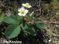 2. Wild Strawberry after MID BLOOM Fragaria virginiana