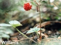 5. Wild Strawberry ripe fruit Fragaria virginiana