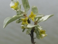 1. Wolf Willow Elaecom Mid Bloom