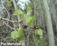 12. Aspen Poplar - Leaves Emerged and Unfolded - 3.jpg